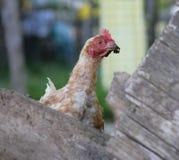 1个家禽围场 免版税库存照片