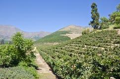 1个小山风景副葡萄园 免版税库存照片