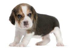 1个小猎犬前月大小狗身分 免版税库存图片