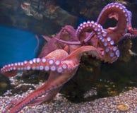 1个巨型章鱼太平洋 免版税库存照片