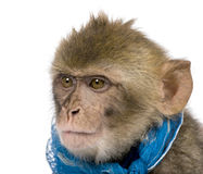 1个巴贝里猕猴属短尾猿老sylvanus年年轻人 库存照片
