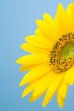1个开花向日葵 免版税库存图片
