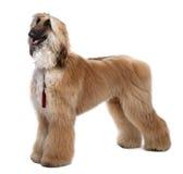 1个新阿富汗棕色grommed猎犬的岁月 免版税库存图片