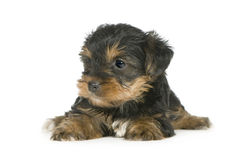 1个月小狗狗约克夏 免版税图库摄影