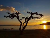 1个杉木日落结构树 免版税库存图片