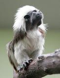 1个棉花绢毛猴顶层 免版税库存照片