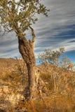 1个沙漠老结构树 库存图片