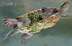 1个河水龟 免版税库存照片