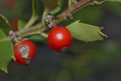 1个浆果霍莉 图库摄影