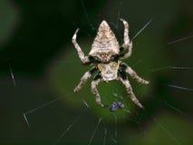 1个海岛phu quoc蜘蛛越南万维网 库存照片