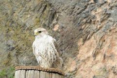 1个猎鹰训练术猛禽显示 免版税库存图片