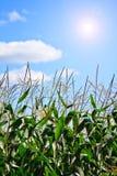 1个玉米田 免版税库存图片