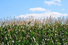 1个玉米田 免版税库存照片