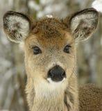 1个白尾鹿年轻人 免版税库存图片