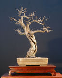 1个盆景结构树 库存图片