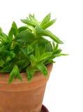 1个绿色植物罐 免版税图库摄影
