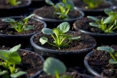 1个花苗圃植物年轻人 图库摄影