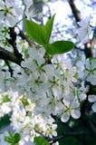 1个苹果开花结构树 库存图片