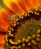 1个蜂向日葵 免版税库存图片