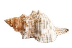 1个贝壳 免版税库存照片