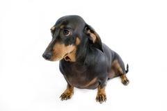 1个达克斯猎犬狗香肠 库存照片