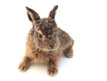 1个野兔 库存图片