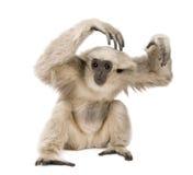 1个长臂猿老pileated年年轻人 免版税库存照片