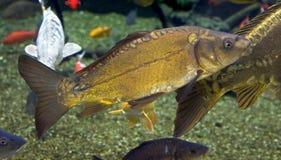 1个鲤鱼 免版税库存图片