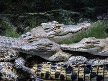 1个鳄鱼农场 免版税图库摄影
