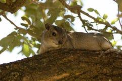 1个dassie非洲蹄兔岩石 免版税库存照片