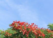 1个poinciana皇家结构树 免版税库存照片