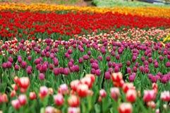 1五颜六色的郁金香 免版税图库摄影