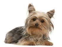 1位于的老狗年约克夏 免版税库存图片