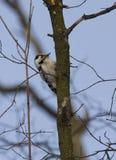 1只一点被察觉的啄木鸟 库存照片