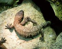 1只串珠的蜥蜴 免版税图库摄影