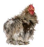 1只卷曲用羽毛装饰的老pekin雄鸡岁月 库存照片
