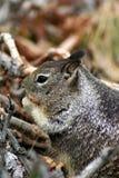 1只地松鼠 免版税图库摄影
