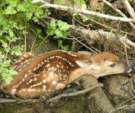 1只小鹿 库存照片