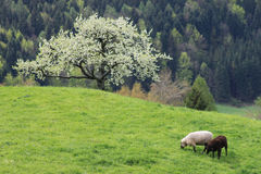 1只山牧场地绵羊 库存照片