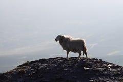 1只山绵羊 免版税库存图片