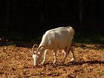 1只山羊 免版税库存图片