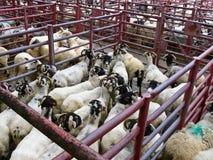 1只市场绵羊 库存图片