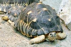 1只放热的草龟 免版税库存图片