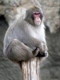 1只日本短尾猿 图库摄影