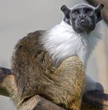 1只染色绢毛猴 图库摄影