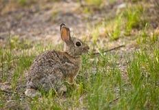 1只棉尾巴兔子 免版税图库摄影