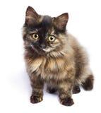 1只棕色小猫一点 免版税图库摄影