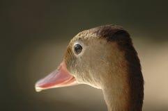 1只棕色鸭子 免版税图库摄影