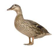 1只母野鸭老常设岁月 库存图片