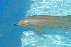 1只海豚 免版税库存照片